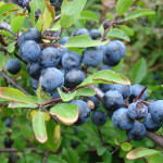 57 - prunus spinosa - blackthorn