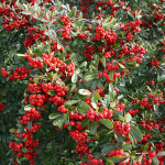 57 - pyracantha-red-firethorn