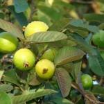 58 - Psidium guajava - guava