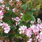 58 - Raphiolepis indica - Indian_Hawthorn