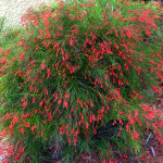 59 - Russelia equisetiformis - Firecracker Plant
