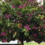 6 - Bauhinia purpurea - orchid tree