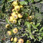 61 - pyrus spinosa - almond-leaved pear