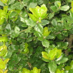 62 - Quercus agrifolia - coast live oakjpg