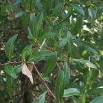 63 - Quercus laurifolia - Laural Oak