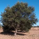 64 - Quercus suber - cork oak