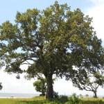 65 - Quercus virginiana - live oakjpg