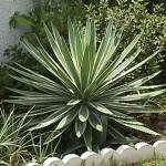 65 - Yucca_aloifolia - Spanish_Bayonet