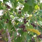 66 - Sapium sebiferum - Chinese Tallow