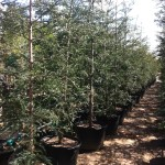 68 - Sequoia sempervirens - aptos blue