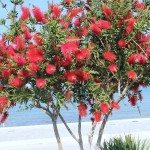 7 - Callistemon citrinus - lemon bottlebrush