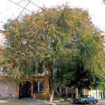 71 - Ulmus parvifola - chinese elm tree drake