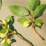 72 - Ulmus parvifolia - chinese elmjpg