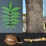 8 - Carya illinoensis - Pecan