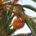 8 - Phoenix dactylifera - date palm