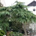 9 - cedrus deodara - Deodar Cedar