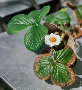 Salt build up in a strawberry plants causes brown leaves.
