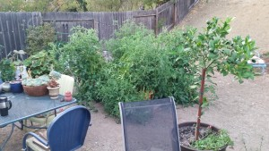 Tomato plants water with recycled water.